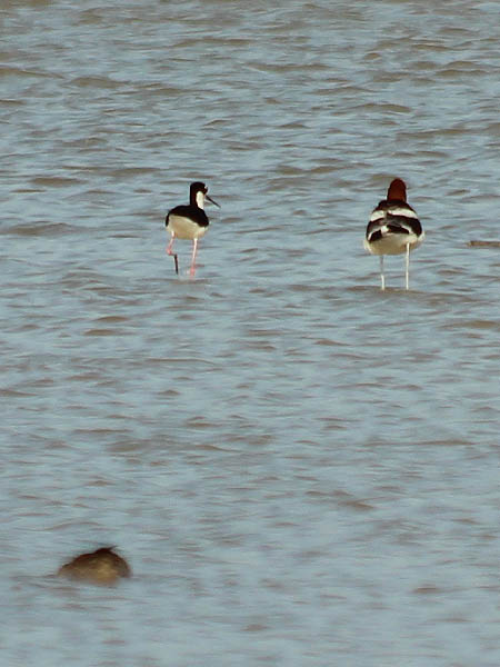 He quickly engages the Black-necked Stilt...