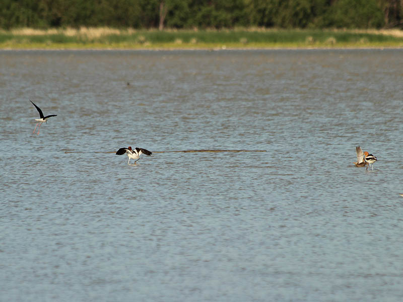 Female avocet and feeding grounds successfully protected.