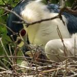 Black-crowned Night Heron - Offspring