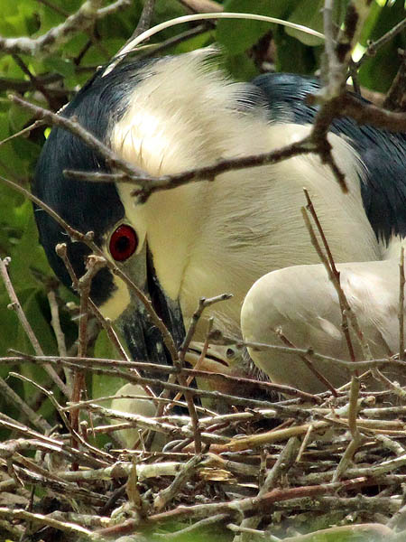 Black-crowned Night Heron - Offspring
