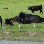 Cattle Egret - Among Friends