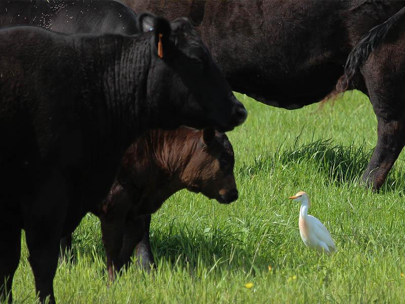 Cattle Egret - Among Friends