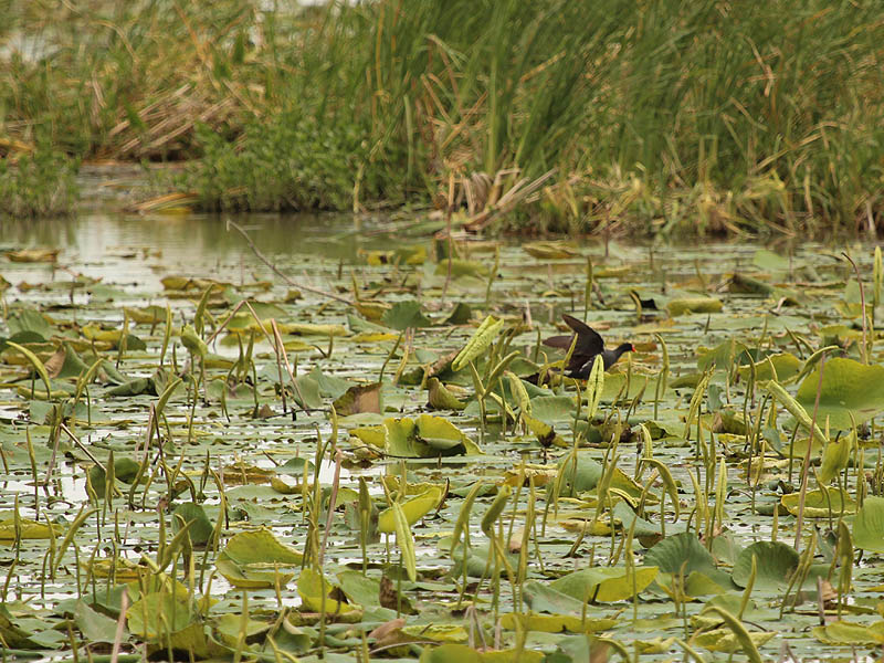 Common Moorhen - Bright Beak