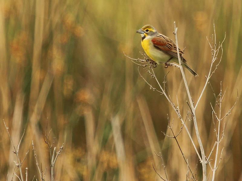 Dickcissel - Spring Meadow