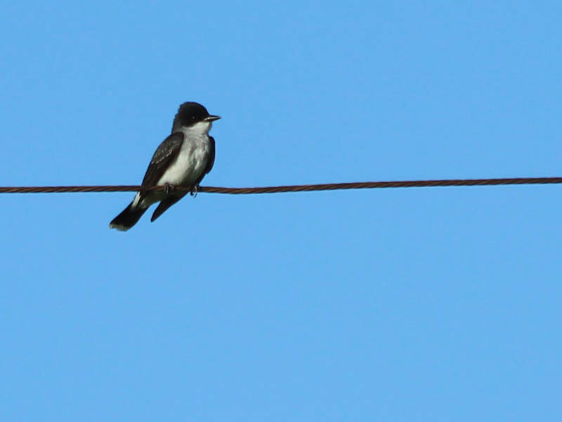 Eastern Kingbird - New Find