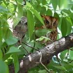 Eastern Screech Owl - Pecan Tree Portrait
