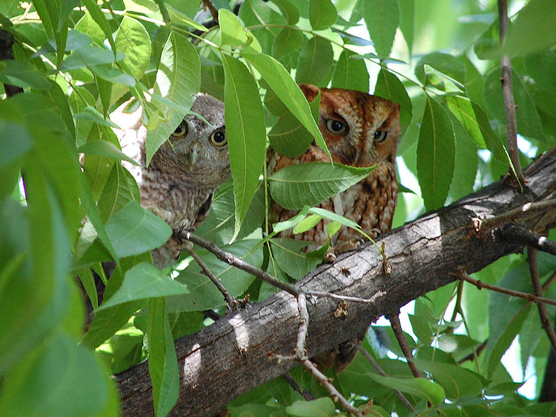 A juvenile and an adult Eastern Screech Owl side by side.