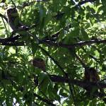 Eastern Screech Owl - The Latest