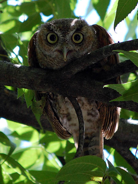 Eastern Screech Owl - The Latest