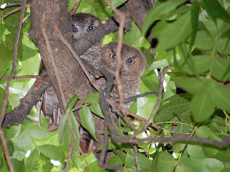 Eastern Screech Owl - Update from Irving