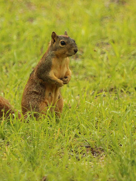 Fox Squirrel - Molt