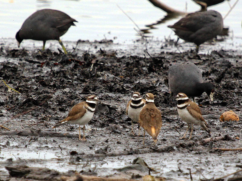 Killdeer - Confrontation