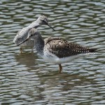 Lesser Yellowlegs - Pairing Up