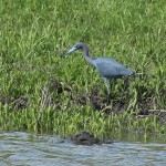 Litte Blue Heron - Shore Walk