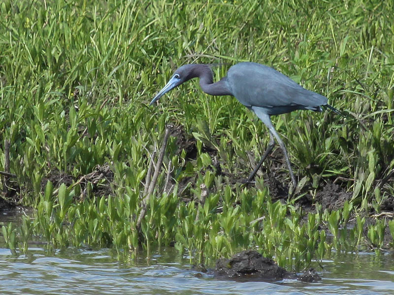 littleblueheron-shorewalk-002