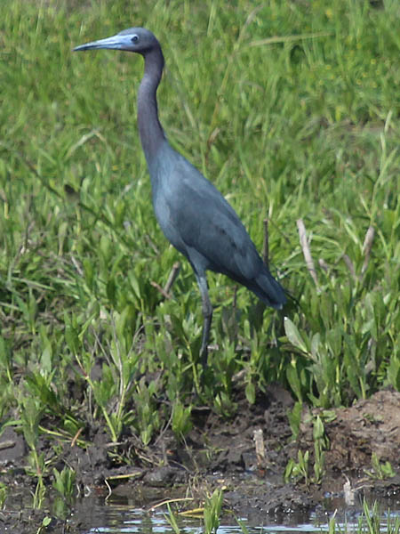 littleblueheron-shorewalk-003