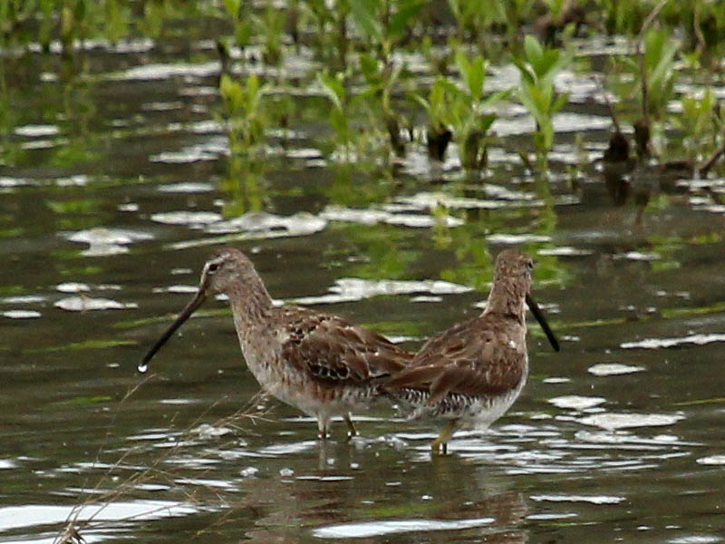 Long-billed Dowitcher - John Bunker Sands