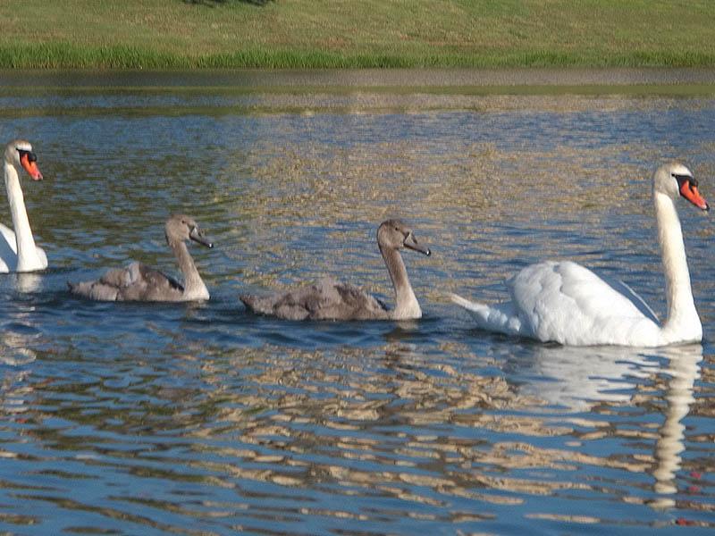 Mute Swan - Josey Ranch Lake Park