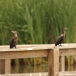 Neotropic Cormorant - On the Boardwalk