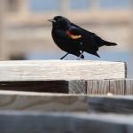 Red-winged Blackbird - John Bunker Sands