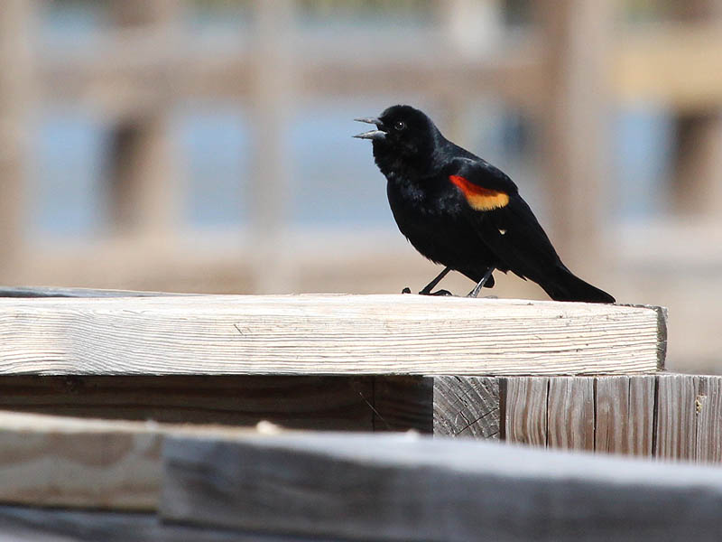 Red-winged Blackbird - John Bunker Sands