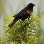 Red-winged Blackbird - Park Patrol