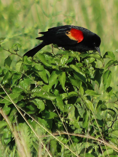 Red-winged Blackbird - Park Patrol
