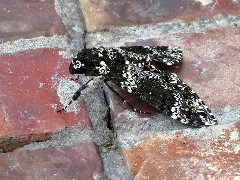 Rustic Sphinx Moth - Bricks and Mortar