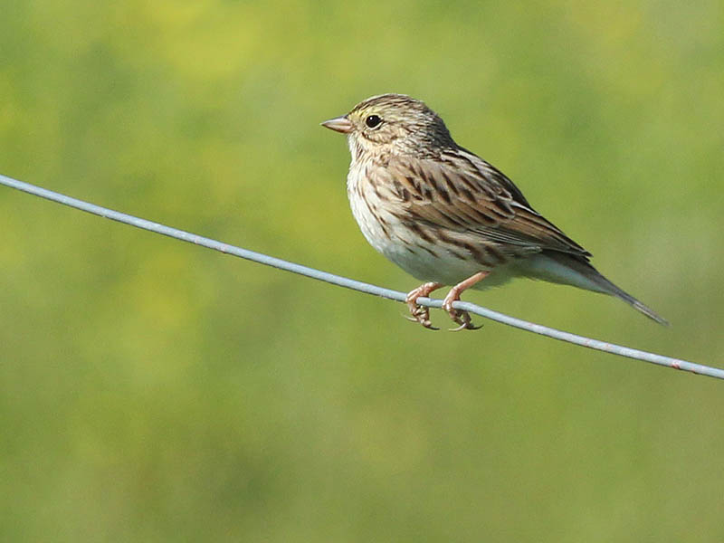 Savannah Sparrow -Together