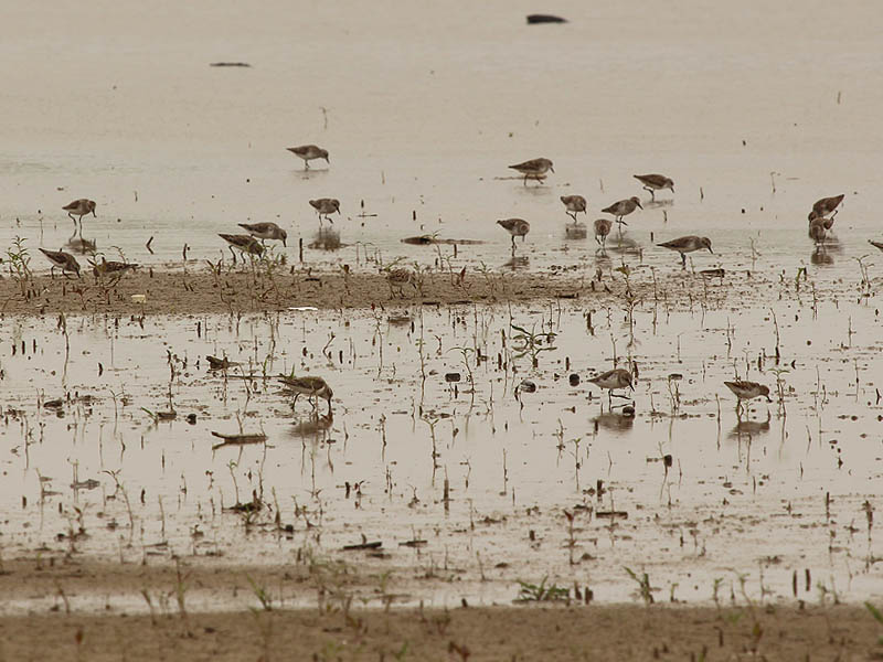 Semipalmated Sandpiper - Lake Ray Hubbard