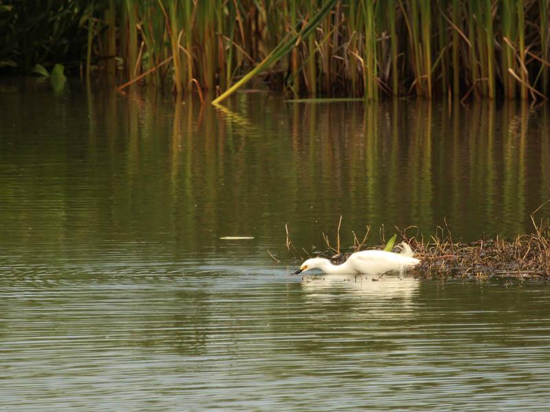 Snowy Egret - Having a Drink