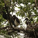 Tricolored Heron – UTSWMC Nest Update 9