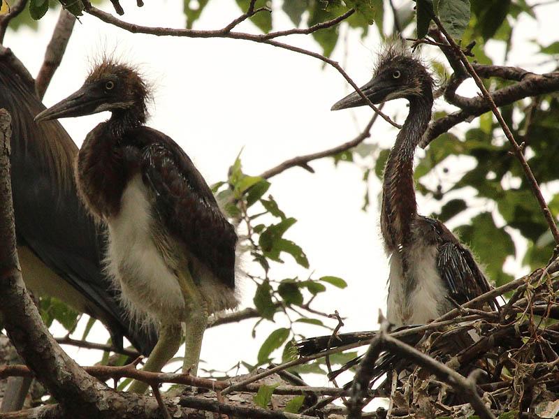 Tricolored Heron – UTSWMC Nest Update 9
