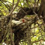 White Ibis - UTSWMC Nest Update 6
