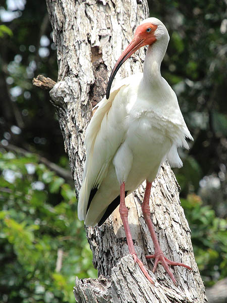 White Ibis - UTSWMC Nest Update 6