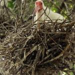 White Ibis - UTSWMC Nest Update 7