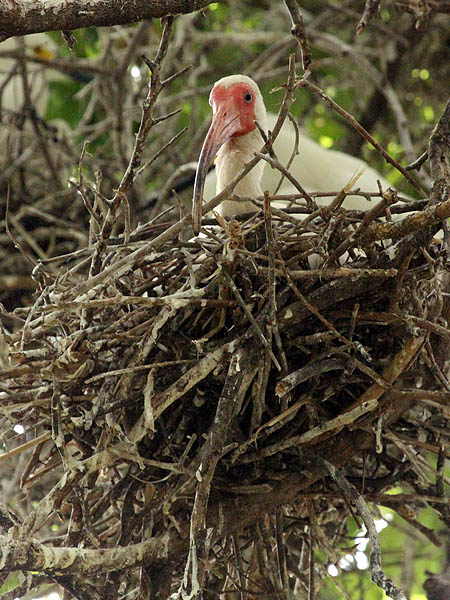 White Ibis - UTSWMC Nest Update 7