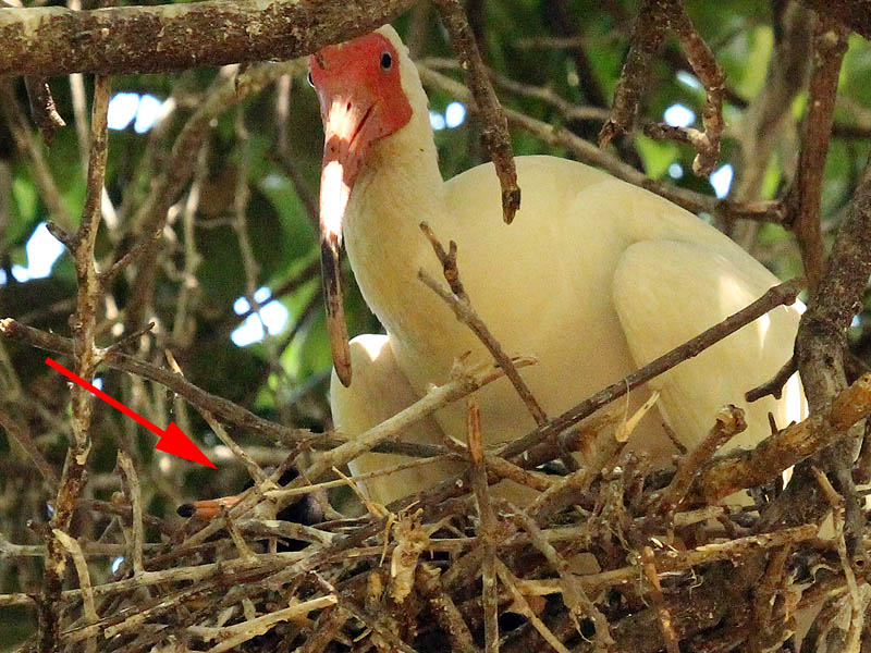 The baby ibis makes his first appearance.