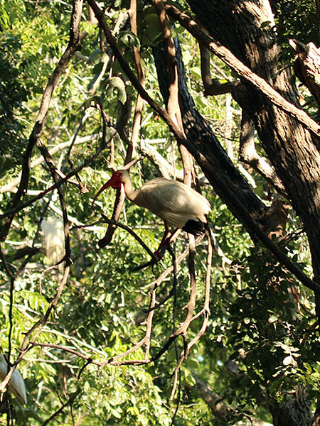 Notice the dewlap hanging from the chin of this ibis.  Some—but not all—ibises develop this feature during the breeding season.