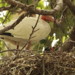 White Ibis - UTSWMC Nest Update 9