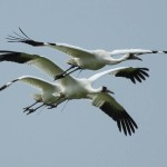 Announcement - Louisiana Whooping Crane Update!