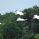 Announcement - Whooping Crane Autumn