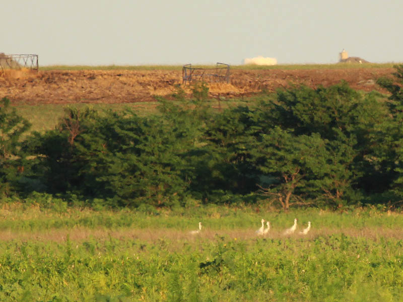 Whooping Crane - Summer of the Cranes
