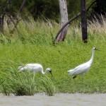 Whooping Crane - Week Five