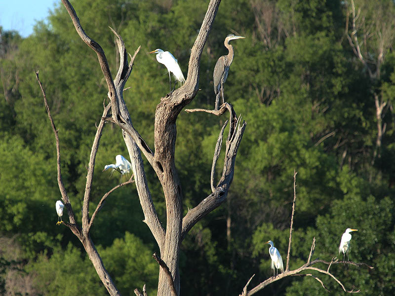 Great Egrets, a Snowy Egret, and a Great Blue Heron at Lake Ray Hubbard.