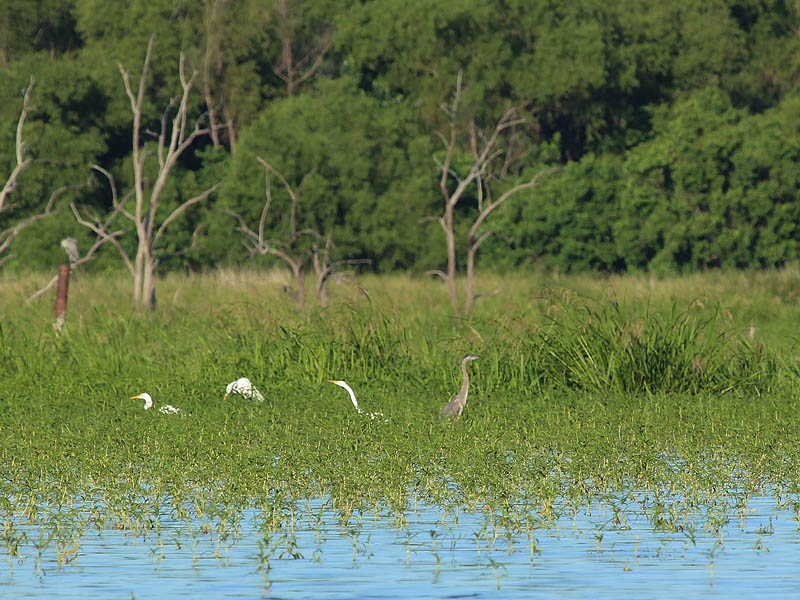 Egrets and Herons wading through the shallow waters of Lake Ray Hubbard.