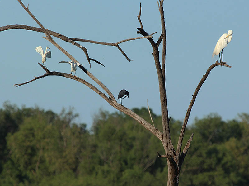 From left to right: A juvenile Little Blue Heron, an Snowy Egret, an adult Little Blue Heron, and a Great Egret.