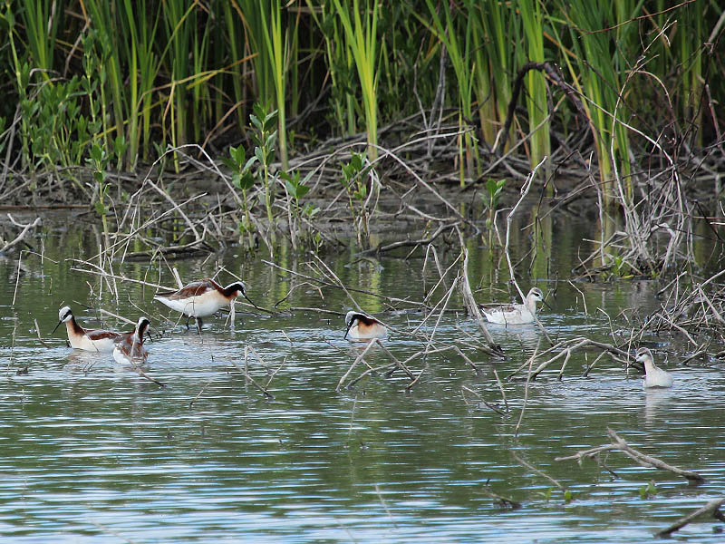 A group of phalaropes feeding in shallow water.