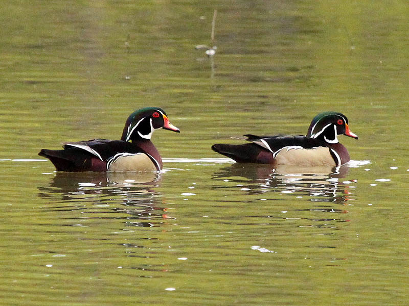 Wood Duck - Sunset Bay