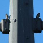 American Kestrel - Fledgling
